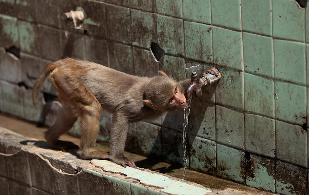 A monkey drinks from a water tap on a hot summer day in Jammu.