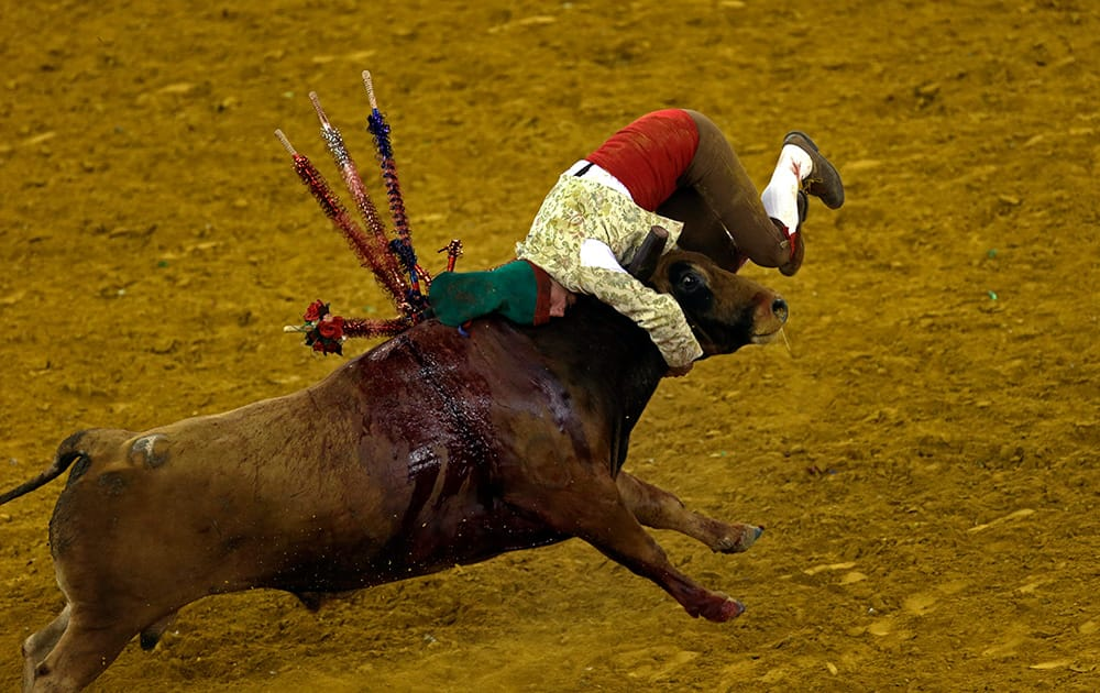 A Portuguese forcado of the group of Alcochete catches a bull during a traditional Portuguese bullfight at Lisbon`s Campo Pequeno bullring, Portugal.