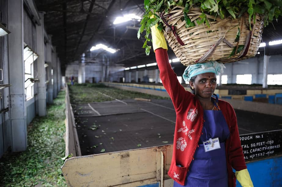India is the second largest producer and exporter of tea after China. South India, which houses 265 tea factories, contributes over 45 percent to India's tea exports. Pic Courtesy- UNDP India