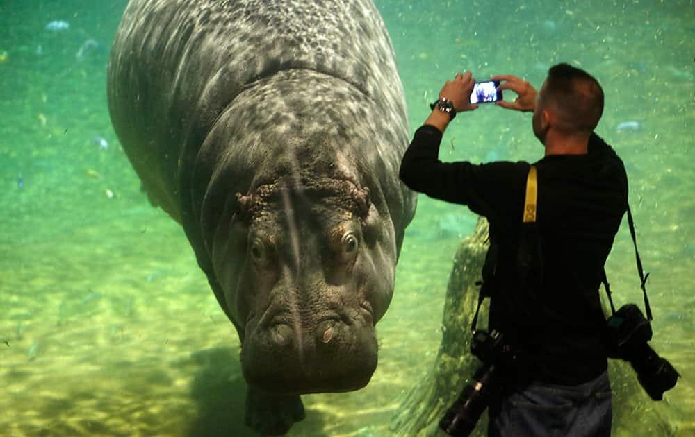 A man photographs a hippopotamus, named Genny, at Adventure Aquarium in Camden, N.J.