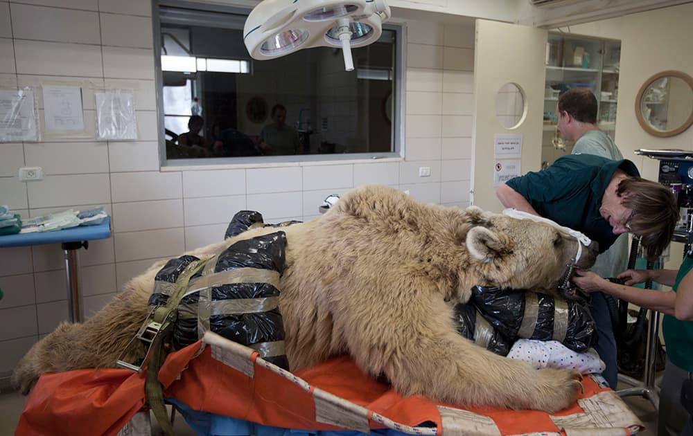 Mango, a 19-year-old male Syrian brown bear, rests on a bed as zoo veterinarians and staff prepare him for surgery in the Ramat Gan Zoological Center`s animal hospital near Tel Aviv, Israel. The 250 kilogram (550 pound) Syrian brown bear is going into surgery to repair a herniated disc in his back after it was discovered in an x-ray.