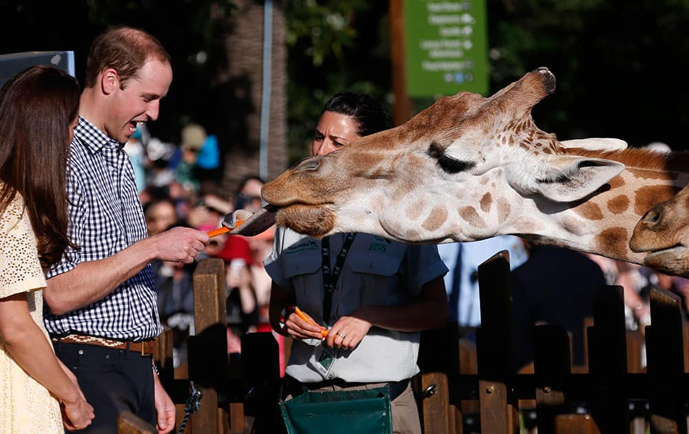 Britain`s Prince William reacts as he and his wife Kate, the Duchess of Cambridge, feed giraffes during a visit to Sydney`s Taronga Zoo, Australia.