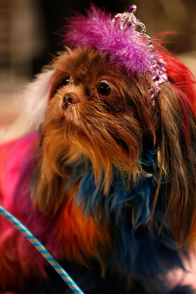 Frankie, a shih tzu breed, stands at a booth displaying dog hair dyes at the Intergroom dog grooming trade show, in East Rutherford, N.J.