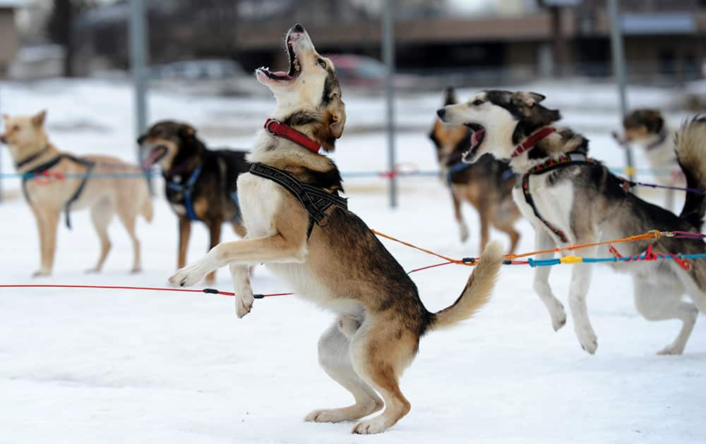 Saki is ready to go as Iditarod musher Michelle Phillips of Tagish, Yukon, takes her dogs out for a run at Tozier Track in Anchorage, Alaska.