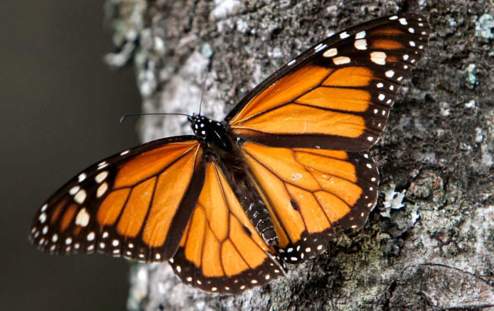 Monarch butterfly sits on a tree trunk at the Sierra Chincua Sanctuary in the mountains of Mexico`s Michoacan state.