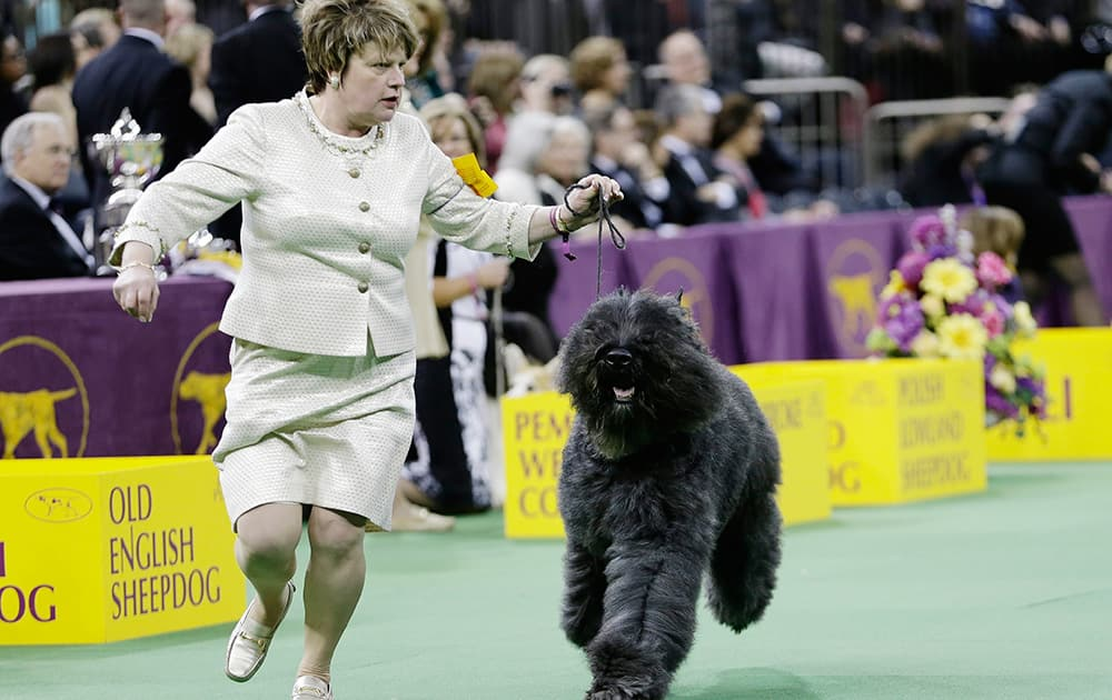 A Bouvier des Flandres competes with other dogs in the Herding group during the 138th Westminster Kennel Club dog show in New York. Coco, a cardigan welsh corgi, won the group.