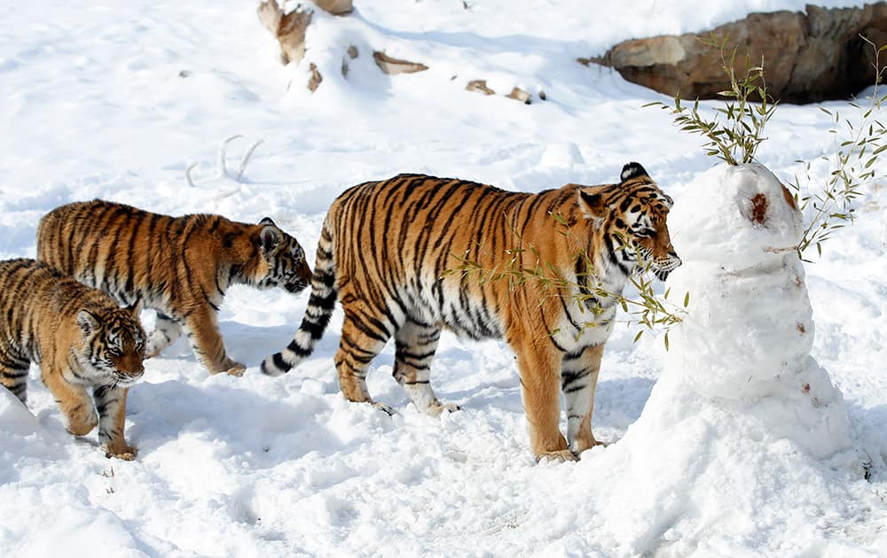 Amur tigers at the Sedgwick County Zoo in Wichita, Kan., play with a snowman created for them.