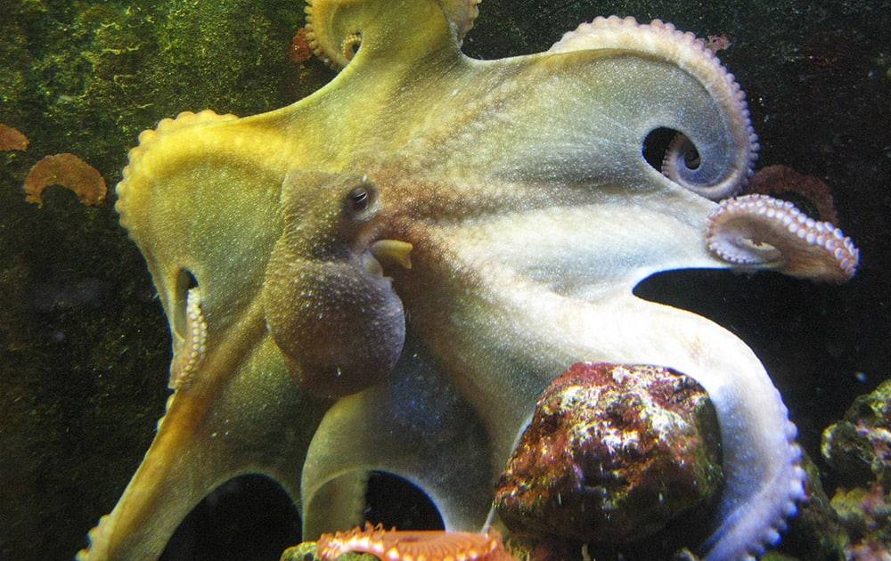 This photo shows Mama Cass, a tank born female Octopus briareus, 8 months old, displaying the magnificent web of this species. Denise Whatley of Atlanta, Georgia, teaches her octopuses that if they come to one corner of the tank, they'll get attention, and if they go to another spot, she'll take her hand out of the tank.