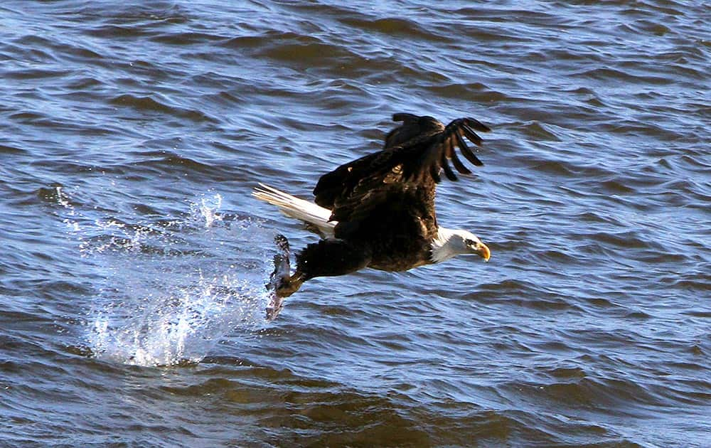 A Bald Eagle picks a fish from the water at Lock and Dam 14 near Le Claire, Iowa. Ken Kester of Clinton, Iowa, uses an oversized homemade slingshot to throw fish out into the Mississippi River.
