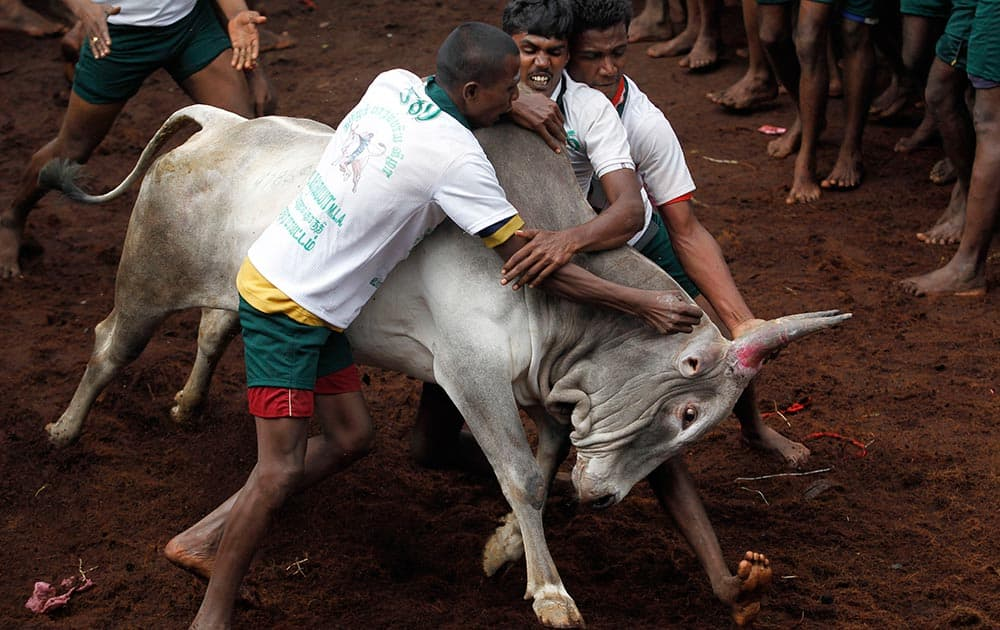 Participants try to hold on to a bull during a bull-taming sport, called Jallikattu, in Alanganallor, about 424 kilometers (264 miles) south of Chennai.