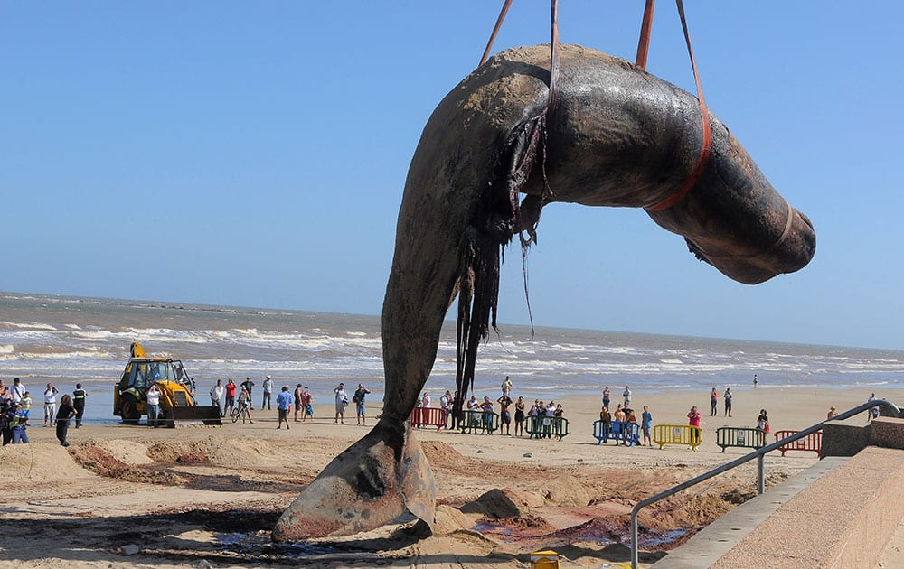 The carcass of a sperm whale that washed ashore on Carrasco beach is lifted with a crane, in Montevideo, Uruguay.