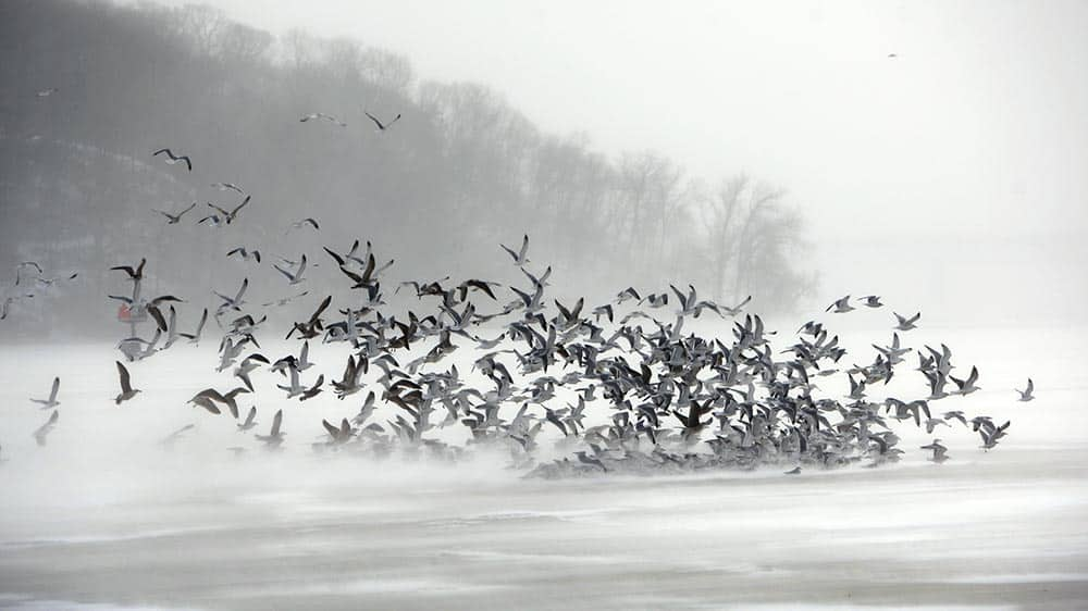 A flock of gulls flies against frigid winds of an arctic cold front over the ice of Irondequoit Bay in Irondequoit, N.Y.