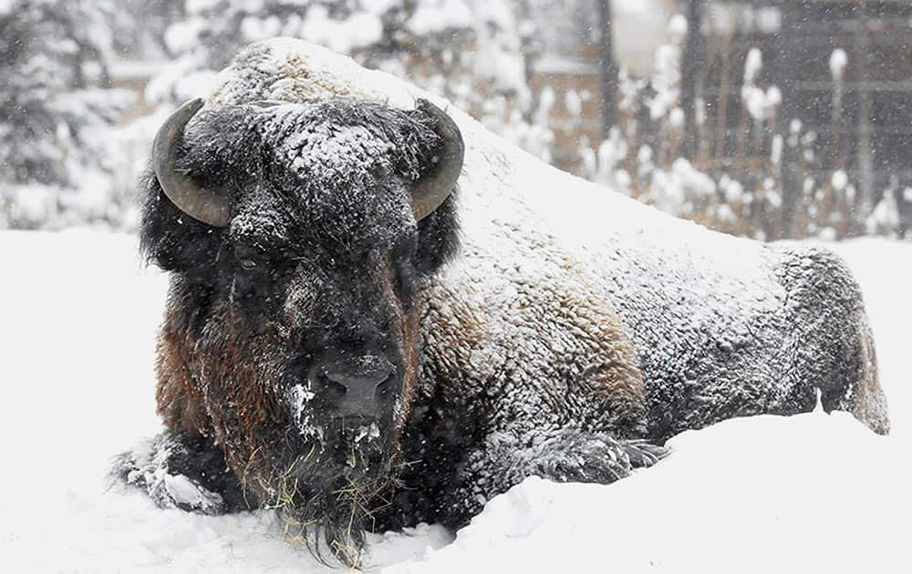 A bison at Brookfield Zoo, is covered in snow and doesn`t seemed phased by the frigid temperatures or snow blowing through the Chicago area.