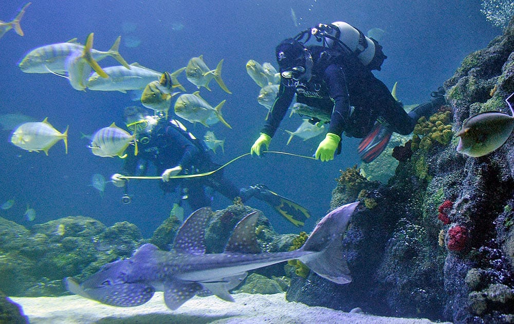 Divers are counting and measuring the residents of an aquarium during the annual stocktaking in Oberhausen, Germany.
