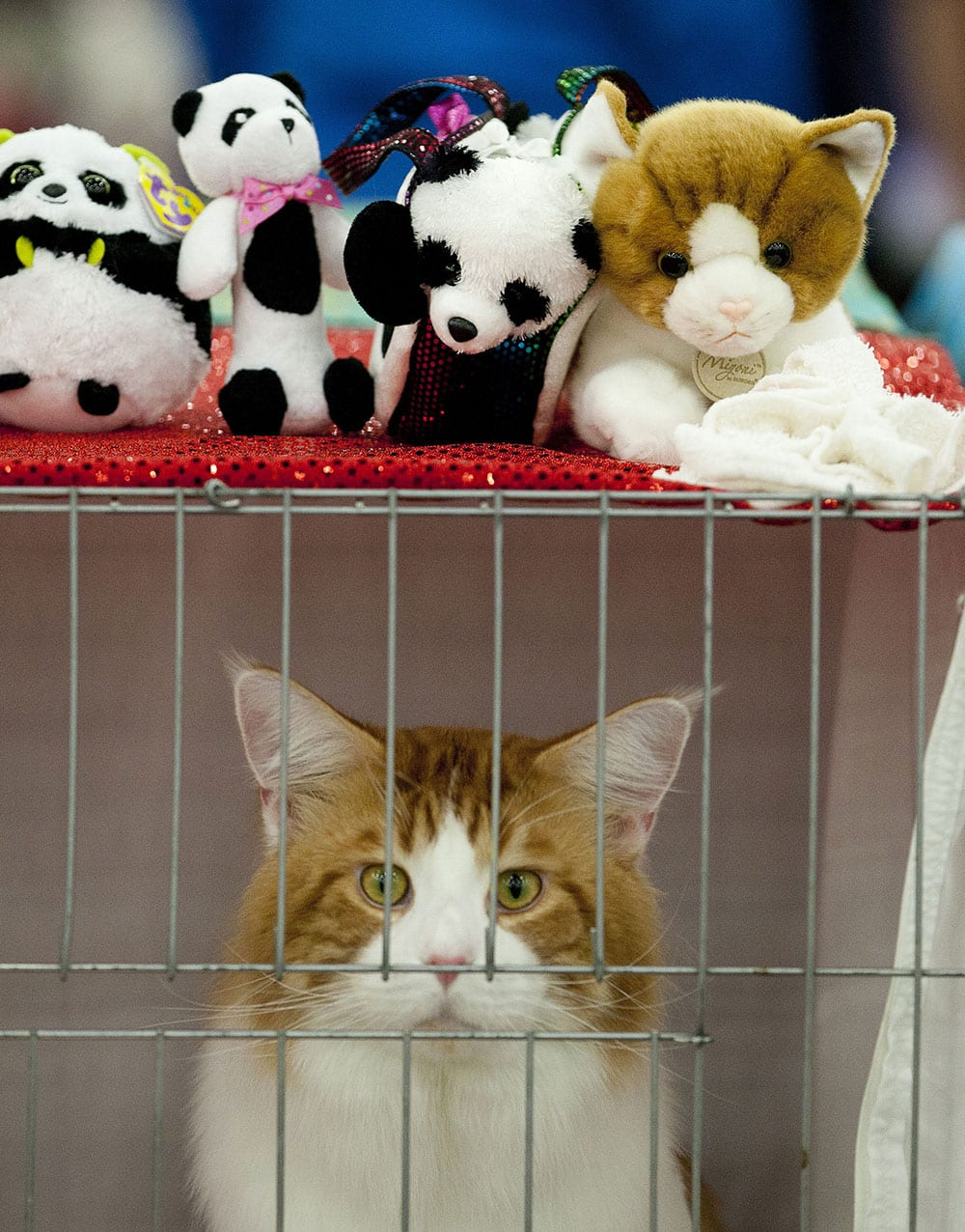 A Maine Coon cat named Phoenix waits in their cage to be shown at the Houston Cat Club`s 61st Annual Charity Cat Show at the George R. Brown Convention Center in Houston.