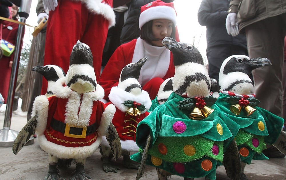 Penguins, dressed in Santa Claus and Christmas tree costumes, parade through spectators during a Christmas event at the Everland amusement park in Yongin, South Korea.
