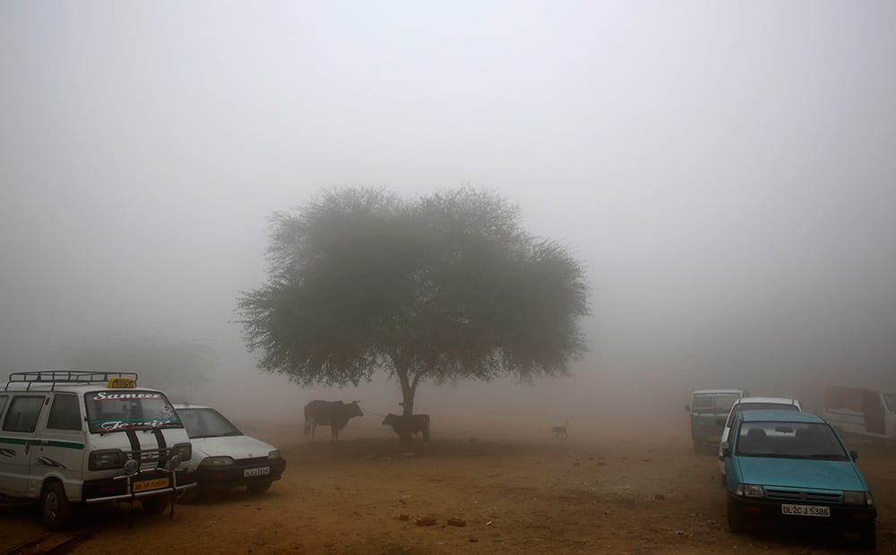 Cows stand tied to a tree surrounded by morning fog, in New Delhi.