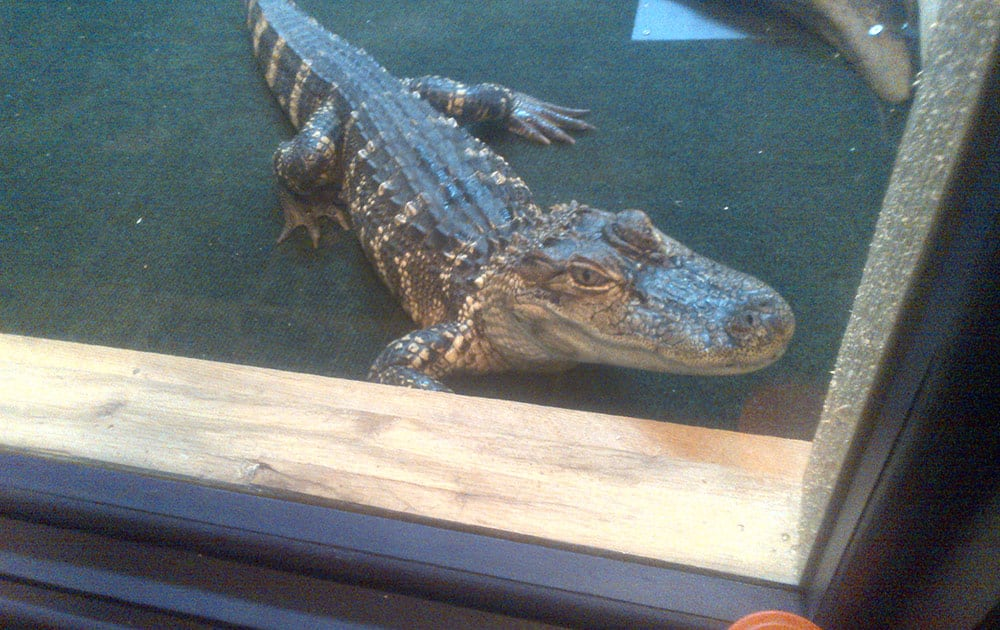 Wally, a 4-foot alligator, is shown in this undated photo provided by the operators of Cajun Gator, a restaurant in Port Huron, Mich.