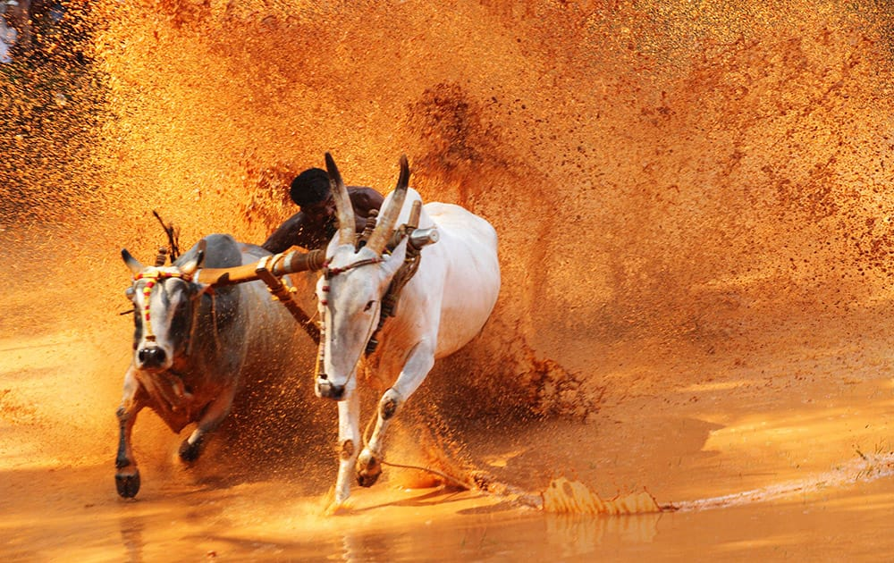 A contestant bites the tail of one of the bulls to make it run faster, as he races a pair of bulls at an oxen race competition held at a paddy field in Malappuram, Kerala state, India.