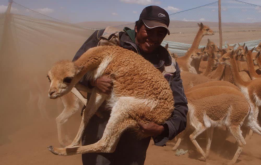An Aymara Indian carries a wild vicuna to be sheared, inside the Apolobamba protected nature reserve, the animal`s natural habitat near the Andean village of Ucha Ucha, Bolivia.