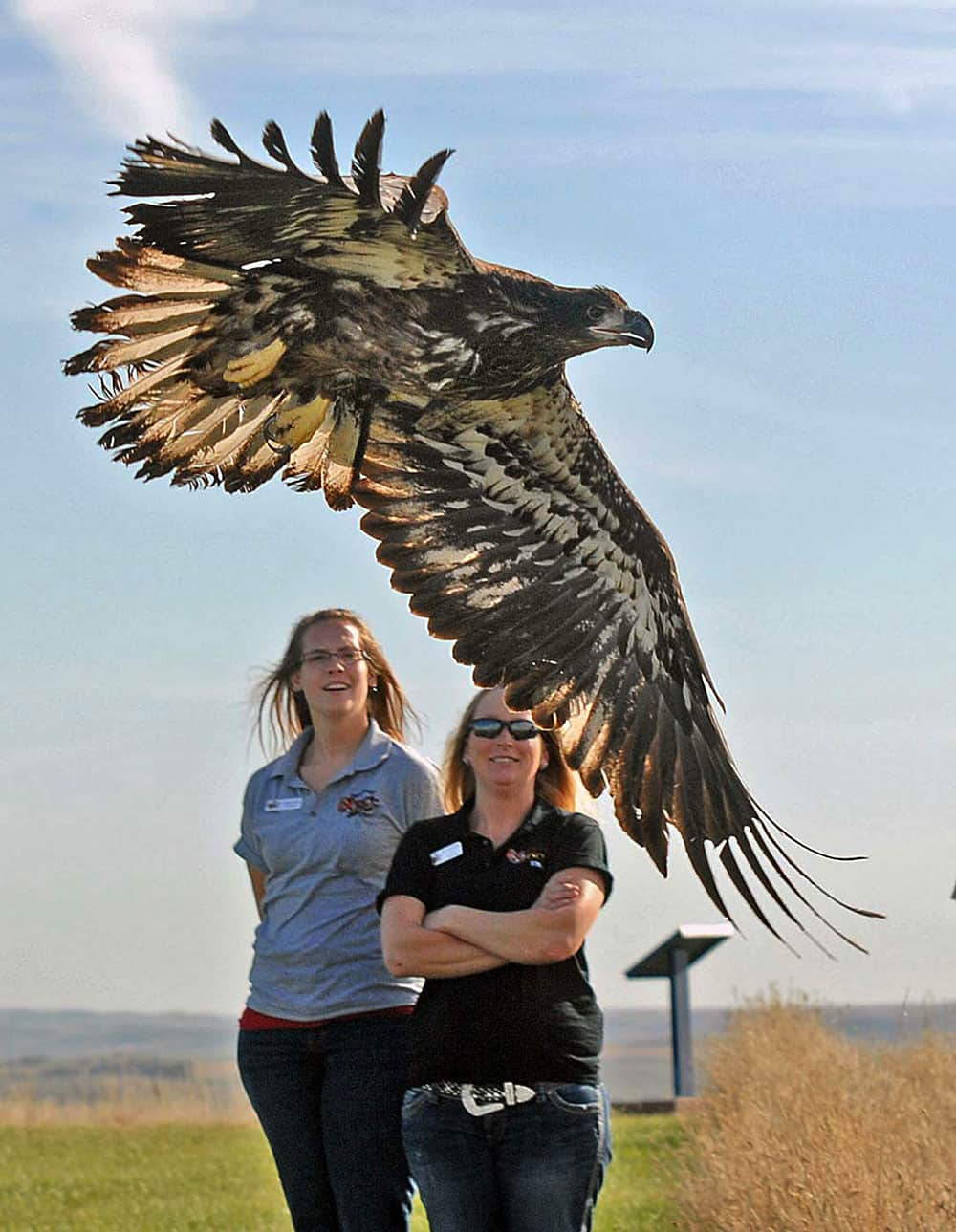 A young bald eagle takes flight from Fort Abraham Lincoln State Park after being released by staff from Dakota Zoo in Bismarck, N.D..