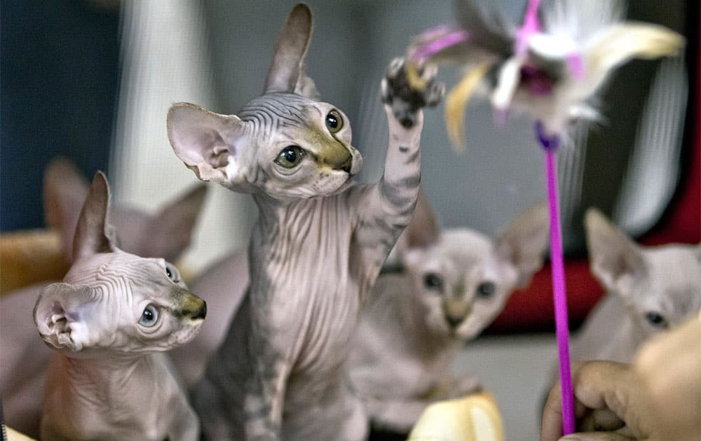 Sphynx kittens react to a tease while being evaluated at an international feline beauty show in Bucharest, Romania. Hundreds of felines from several countries took part in a two-day beauty contest.