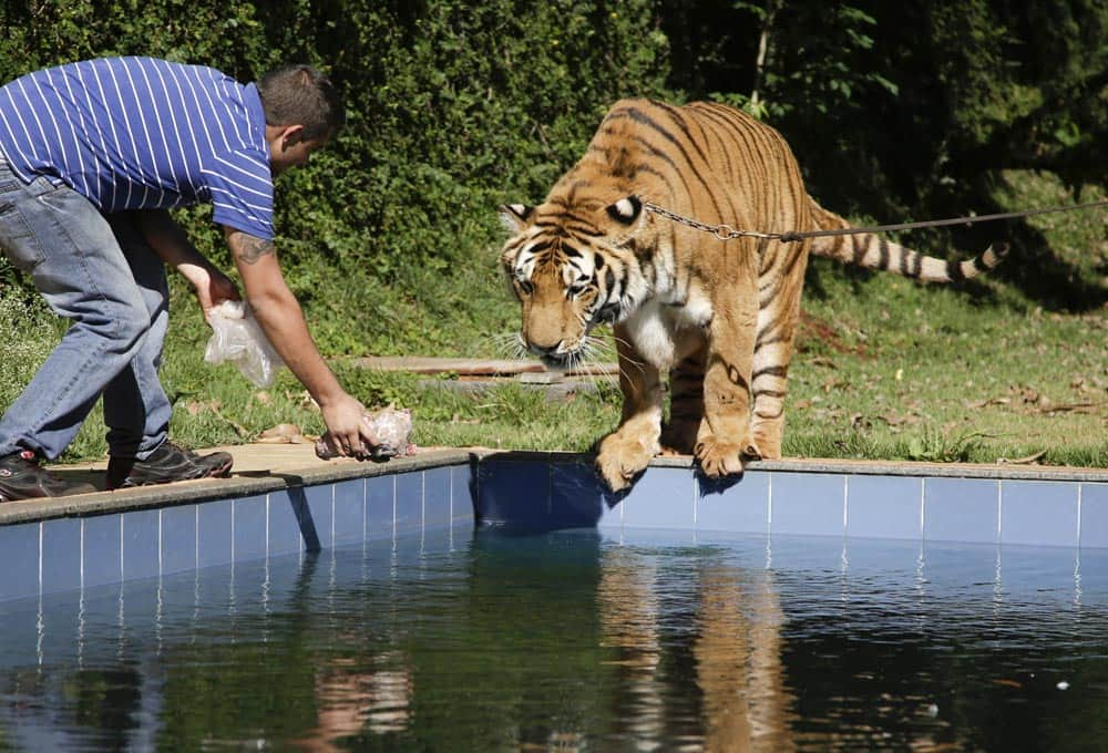 A tiger handler holds out a piece of meat for a tiger named Tom over a swimming pool in the backyard Tom`s caretaker Ary Borges in Maringa, Brazil.