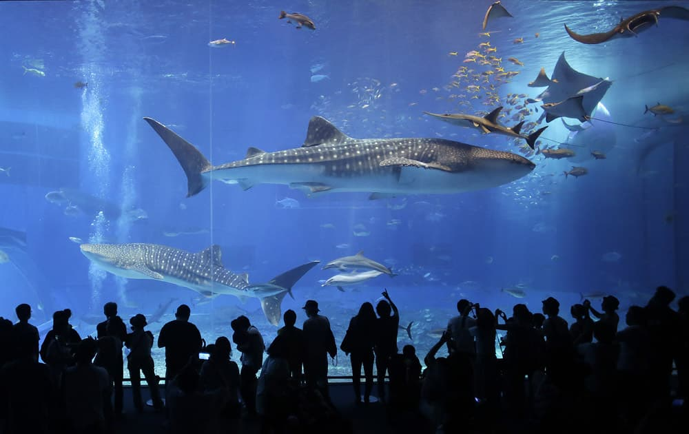 Visitors watch whale sharks and manta rays swim at the Black Current sea tank at Okinawa Churaumi Aquarium in Motobu, on the southern island of Okinawa, Japan.