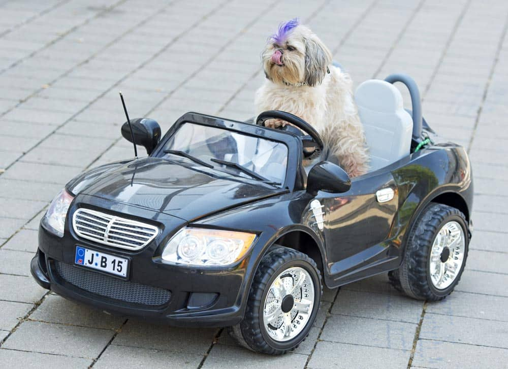 Shih Tzu dog `Pan Hou` sits in a a remote-controlled electric car at the International dog and cat show `Hund und Katz` in Leipzig, central Germany.