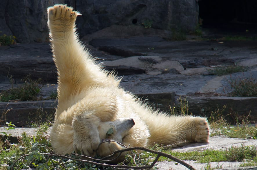 Wolodja, a young male polar bear plays in its enclosure at the animal park in Berlin-Friedrichsfelde, Germany.