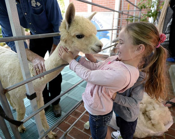 Violet Zadnik, 5, gives a hug to an alpaca from Ahh...Sweet Alpacas that was visiting the the Vacaville Museum during the Vacaville Museum Guild`s children`s party, in Vacaville, Calif.
