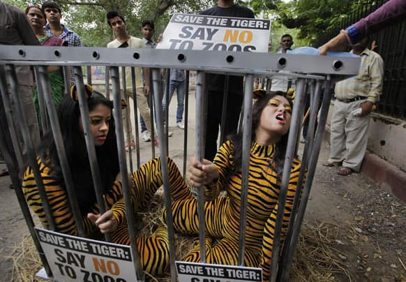 Volunteers of the People for the Ethical Treatment of Animals (PETA) wearing bodysuits resembling tiger drinks water sitting inside a cage outside Delhi Zoological Park during a protest, in New Delhi.