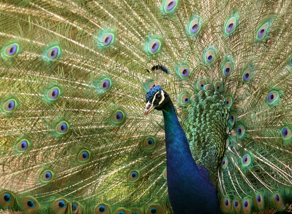 A peacock shows its feathers at a garden in Grand Hallet, 60 kilometers (37 miles) east of Brussels, Belgium.