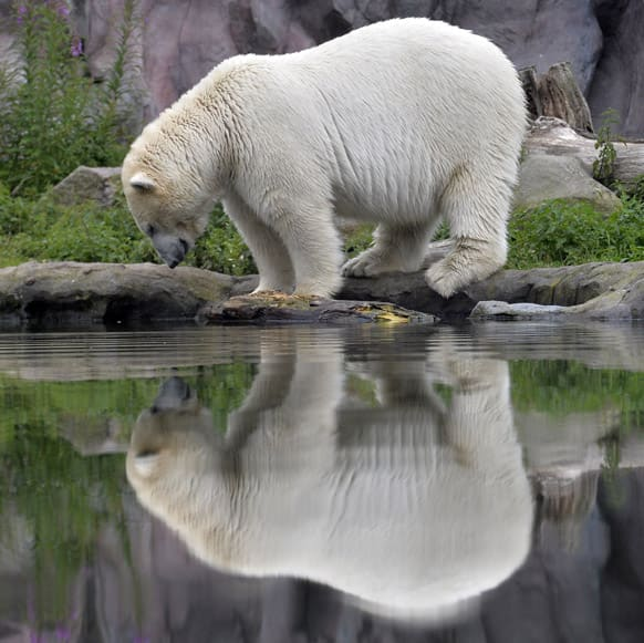 A polar bear watches his reflection in the water, on a rainy summer day at the zoo in Gelsenkirchen, Germany.
