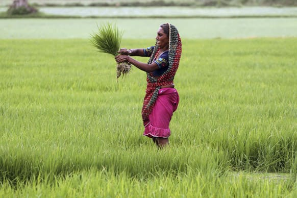 An Indian woman farmer holds a bunch of paddy saplings as she works in a paddy field on the outskirts of Ahmadabad.