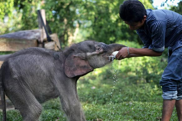 A keeper gives milk to an estimated to be less than a month-old baby Sumatran elephant Raju, who was found by villagers alone at a palm oil plantation earlier this month, at an elephant sanctuary in Aceh Besar, Indonesia.