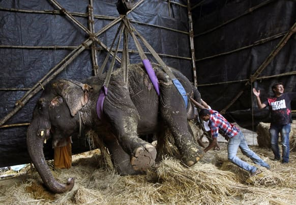 Social workers help Bijlee, a 54-year-old Asian female elephant after she collapsed and was unable to stand on her own in Mumbai.