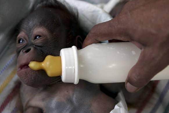 A keeper feeds milk to Rizky, a 11 day-old orangutan as he lies in an incubator at a nursery of Surabaya Zoo in Surabaya, East Java, Indonesia.