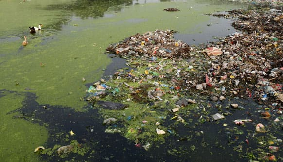 Ducks swim through a pond polluted with plastic bags and other garbage in Allahabad.