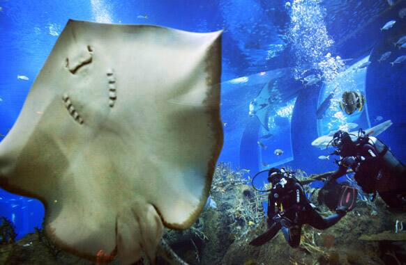 Divers approach a Leopard Ray perched against the glass of an exhibit, in Singapore at the Marine Life Park at Resorts World, one of the city-state`s newest tourist attractions which opened late 2012.