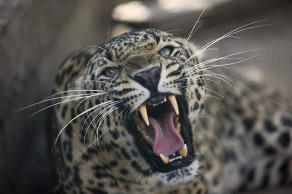 A leopard growls from inside a cage at a wildlife park in Jammu.