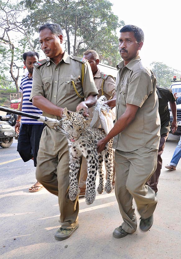 Forest guards rescue a full grown Leopard from a residential area in Gauhati, India. According to the locals, the leopard came from a nearby hill in search of food.