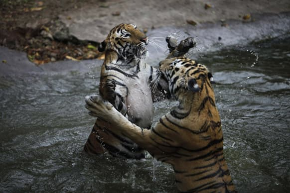 Royal Bengal tigers play in the water at a pool at the Nehru Zoological Park in Hyderabad. India's latest tiger census counted at least 1,706 tigers in forests across the country.