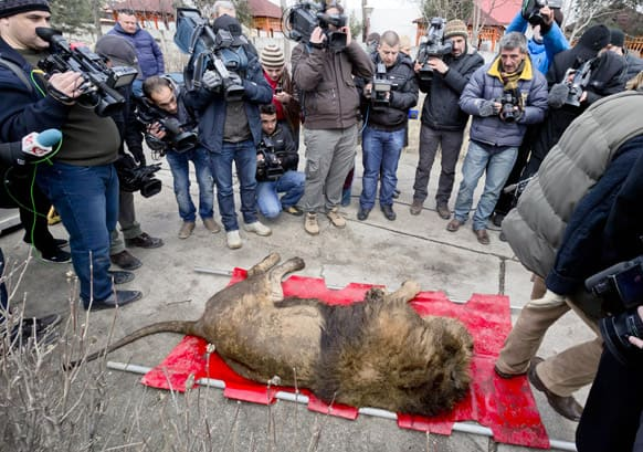 A sedated lion is surrounded by media at the estate of Ion Balint, known to Romanians as Nutzu the Pawnbroker, a notorious gangster, in Bucharest, Romania.