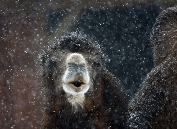 A camel braves the heavy snowfall at the zoo in Frankfurt, central Germany.