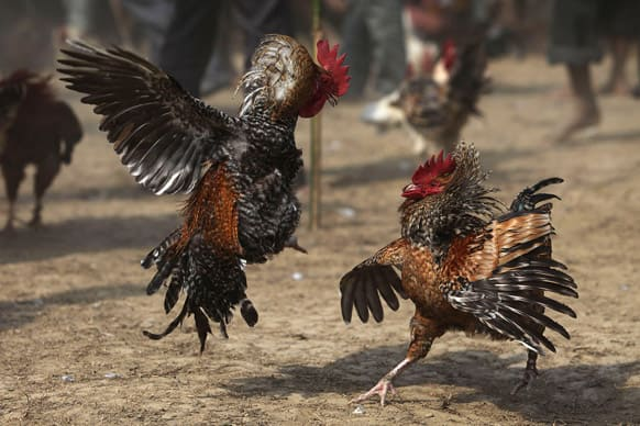 Roosters attack each other during a rooster fight as part of Jonbeel festival near Jagiroad, about 75 kilometers (47 miles) east of Guwahati.