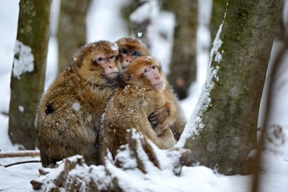Barbary apes sit in the snow in their enclosure in the zoo of Salem, southern Germany. Weather forecasts predict cold winter weather for the next few days in Germany.
