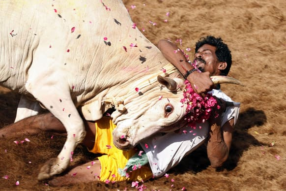 A bull tamers holds a bull by the horn during the bull-taming sport called Jallikattu, in Alanganallur, about 530 kilometers south of Chennai. Jallikattu is an ancient heroic sporting event of the Tamils played during the harvest festival of Pongal.