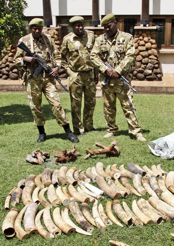 Kenyan Wildlife wardens keep a watch on confiscated elephant tusks at the Kenyan wildlife offices in Nairobi. Kenyan authorities seized at least two tons of illegal Elephant ivory at the Kenyan port of Mombasa.