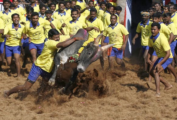 Bull tamers try to control a bull during the bull-taming sport called Jallikattu, in Palamedu, about 575 kilometers (359 miles) south of Chennai.